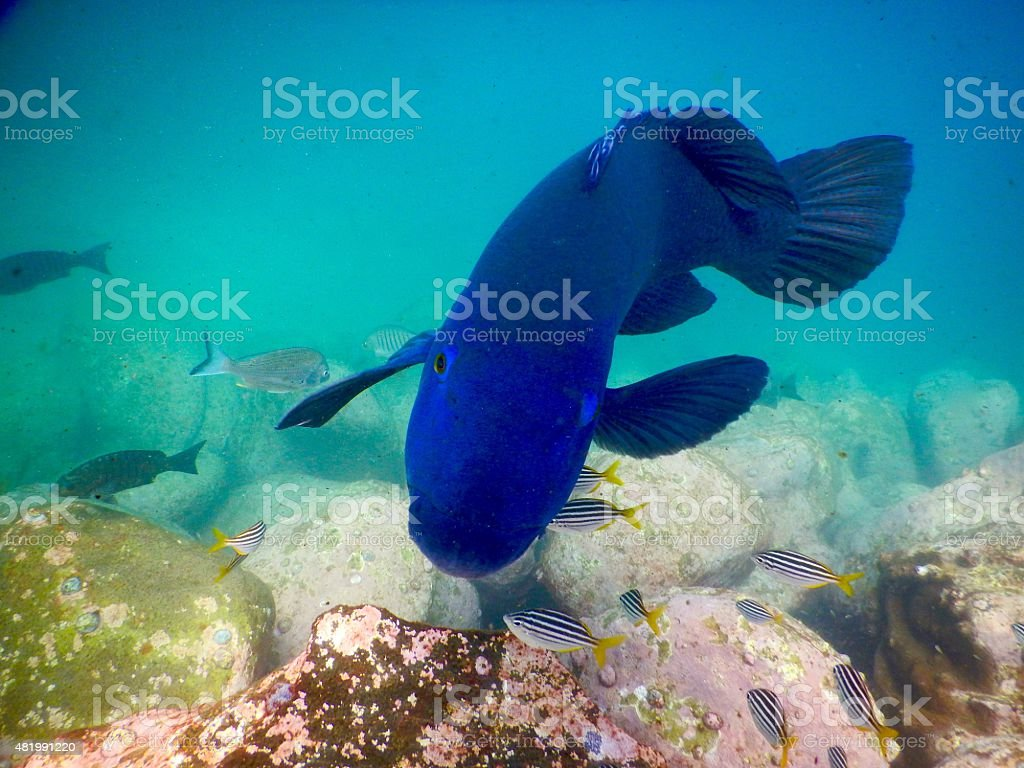 Eastern Blue Groper at Shelley Beach stock photo