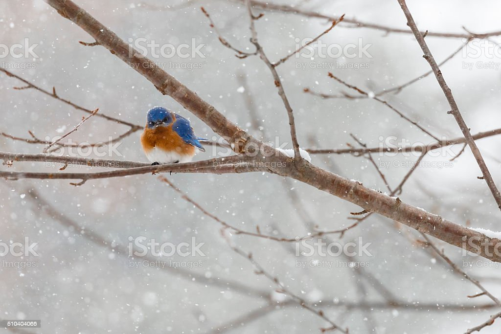 Eastern Bluebird (Sialia sialis) In a Snowstorm Looking Angry stock photo