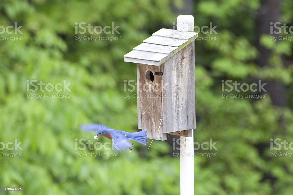 Eastern Bluebird in Flight stock photo