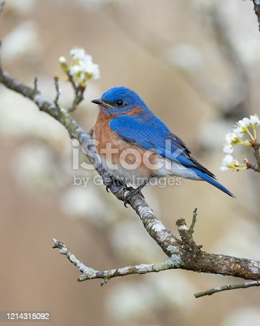 Eastern Bluebird in Plum Tree in Pilot Mountain, NC, United States
