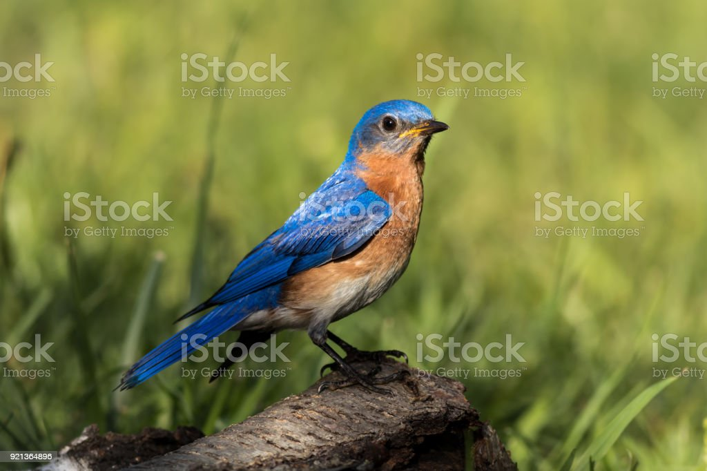 Eastern bluebird male perched on weather birch branch stock photo