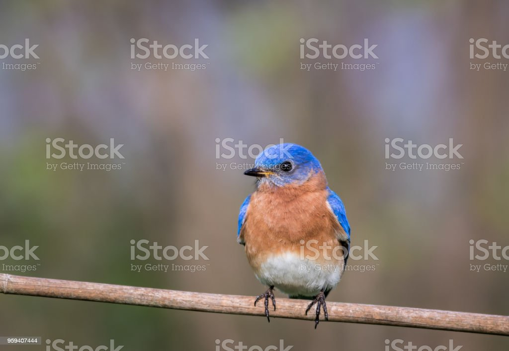 Eastern Bluebird male perched with simple gray palette background room for text stock photo