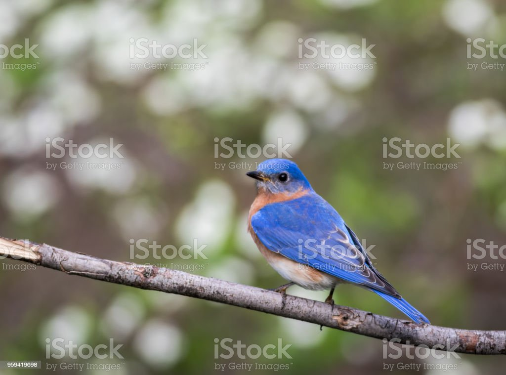 Eastern Bluebird male perched with simple green bokeh background room for text stock photo