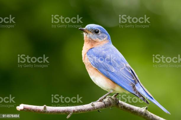 Eastern bluebird male perched with soft simple background picture id914576454?b=1&k=6&m=914576454&s=612x612&h=fxmoqs28mpojplomgxco9jg a0n7sj7e80 kytrvqre=