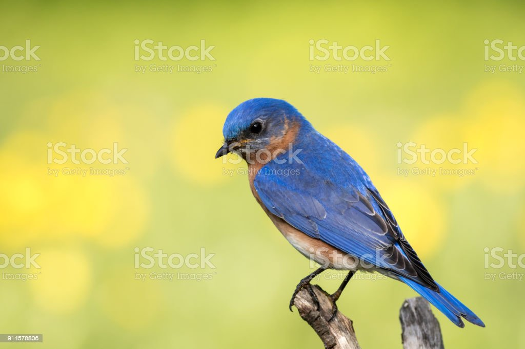 Eastern Bluebird (Sialia sialis) male perched with soft simple background stock photo