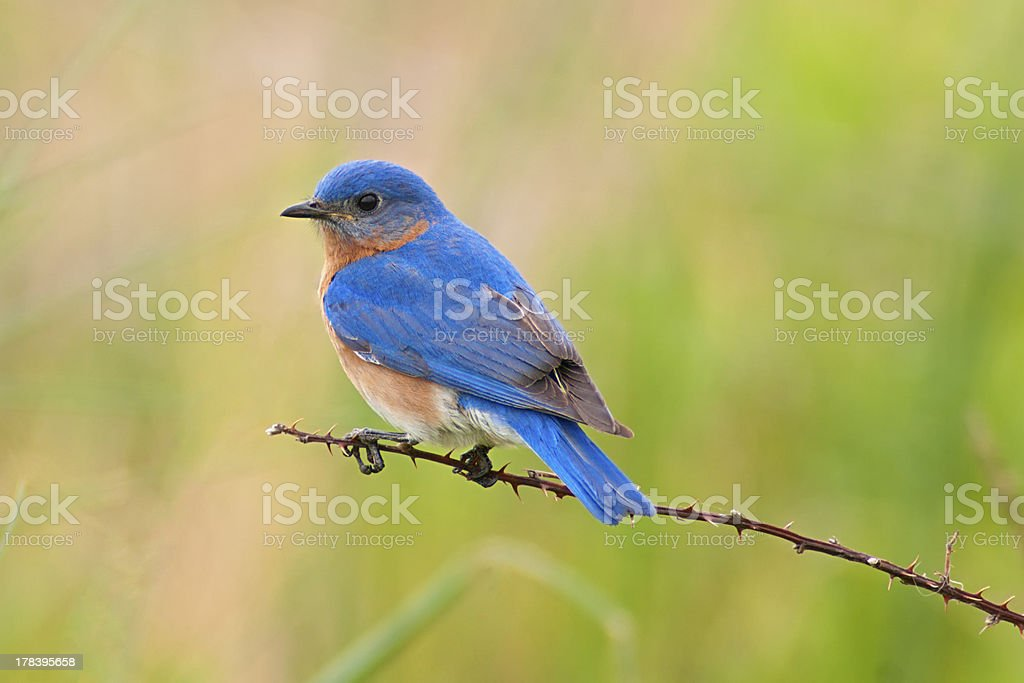 Eastern Bluebird Male stock photo