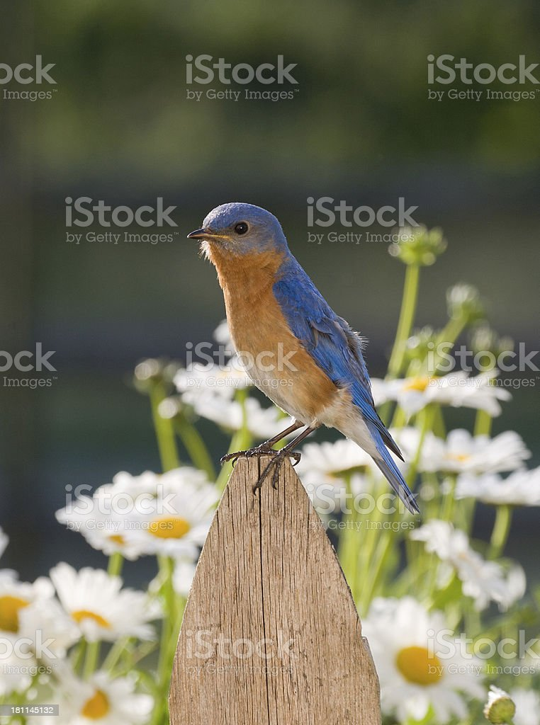 Eastern Bluebird, male stock photo