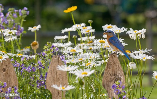 Eastern Bluebird, male , perched on a Wooden Picket Fence in a field of wildflowers, holding a worm in its bill