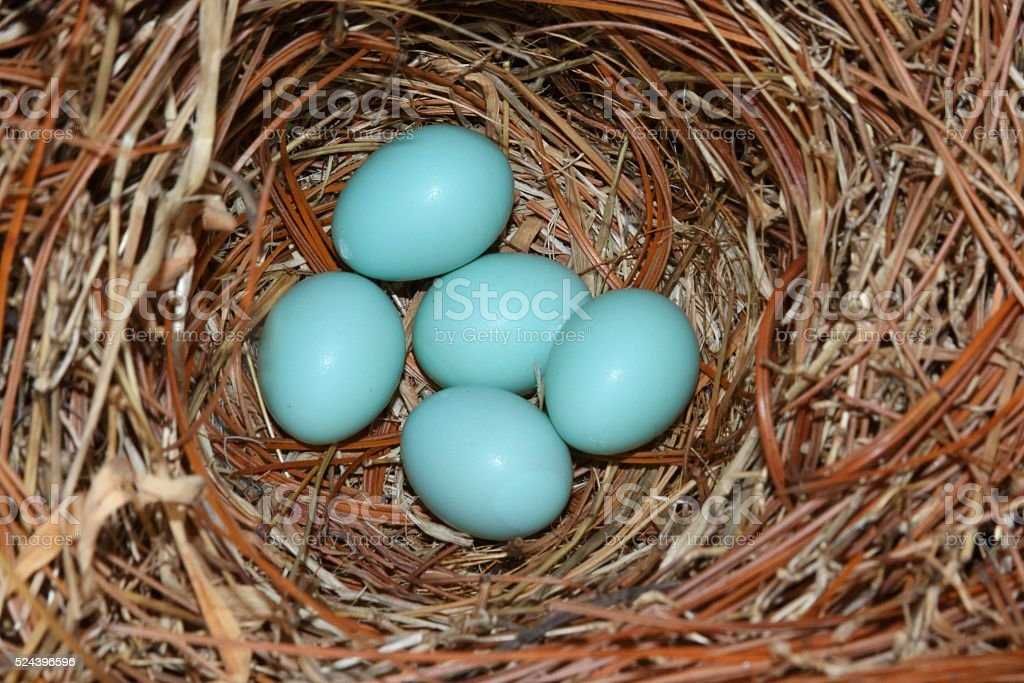 Eastern Bluebird (Sialia sialis) nest stock photo