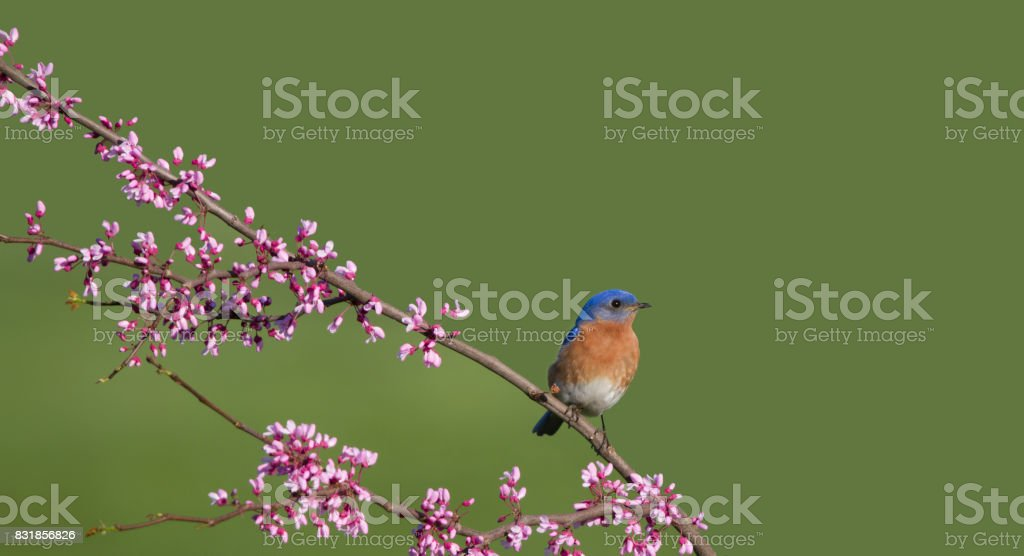 Eastern Bluebird Perched on a Blossoming Redbud Branch stock photo