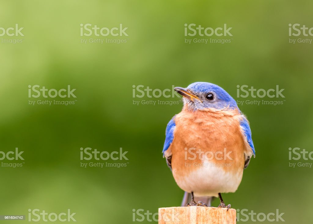 Eastern Bluebird perched with simple green background stock photo