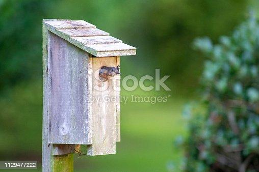 Eastern Bluebird in birdhouse