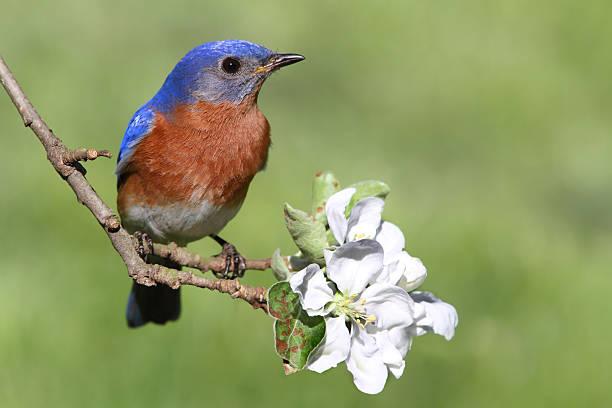 eastern bluebird - neerstrijken stockfoto's en -beelden