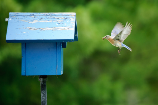 A female Eastern Bluebird brings a tasty treat to her babies waiting in the nest.