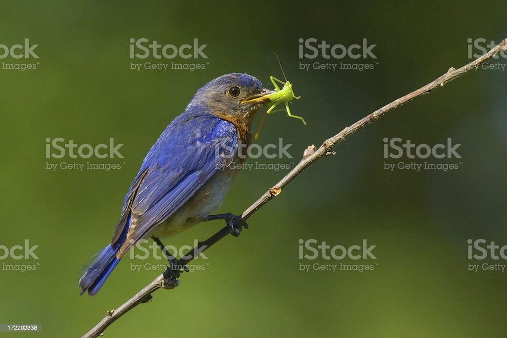 Eastern Bluebird royalty-free stock photo