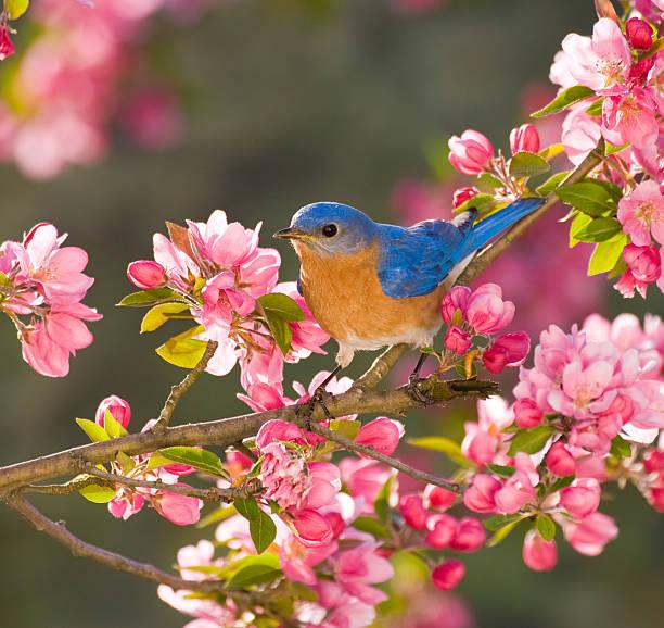 eastern bluebird - zangvogel stockfoto's en -beelden