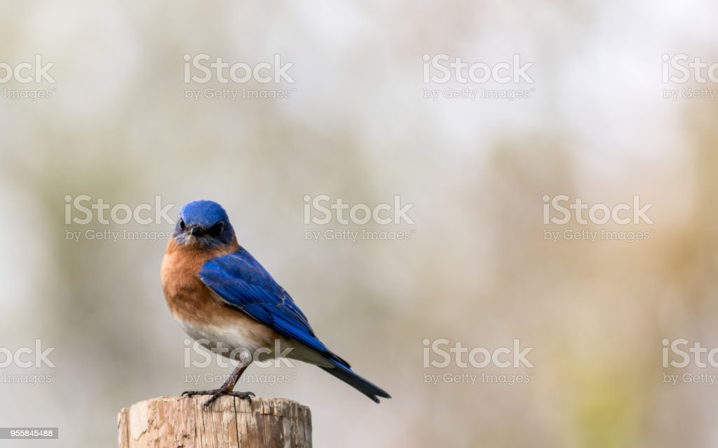 Eastern Bluebird portrait perched against clean muted background stock photo
