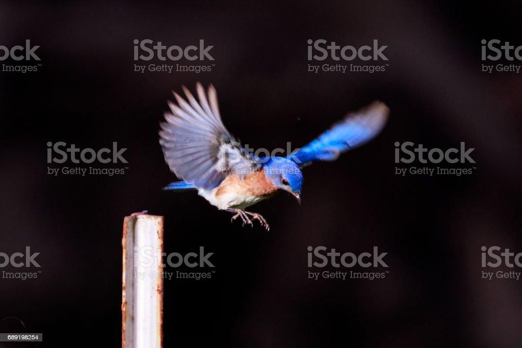 Eastern Bluebird, Sialia sialis, flying around in the backyard in central Arkansas. stock photo