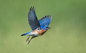 istock Eastern Bluebird, Sialia sialis, male bird in flight 539648544
