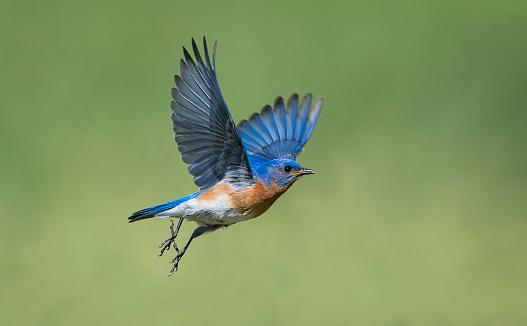 Uncommon bird. Eastern Bluebird, Sialia sialis, male bird in flight.