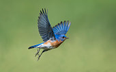 Uncommon bird. Eastern Bluebird, Sialia sialis, male bird in flight.
