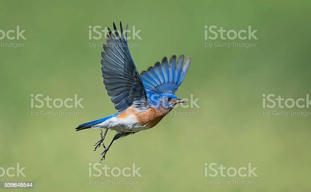 Eastern bluebird sialia sialis male bird in flight picture id539648544?b=1&k=6&m=539648544&s=612x612&h=jdcfgbx4vfrrb5bburg4q5zgwpmlg ex7w1kr6fomca=