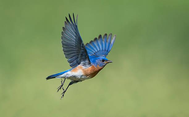 Eastern bluebird sialia sialis male bird in flight picture id539648544?b=1&k=6&m=539648544&s=612x612&w=0&h= o 1kj abns9hjvxqzduhzduk9ibkxcke57zgvl1vcu=