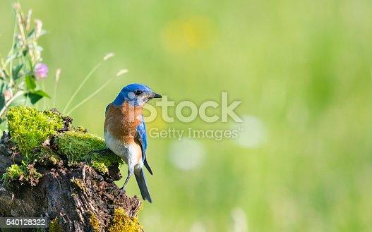 Eastern Bluebird, Sialia sialis, male bird perching in a wildflower field.