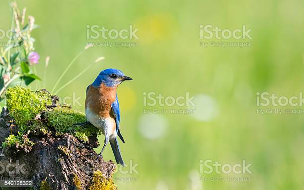 Eastern bluebird sialia sialis male bird perching picture id540128322?b=1&k=6&m=540128322&s=612x612&h=hcu vzfjyhtqdq0tht opnqealmqmdzoghjmjplrl5c=