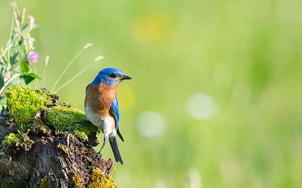 eastern bluebird, sialia sialis, male bird perching - bird stock photos and pictures