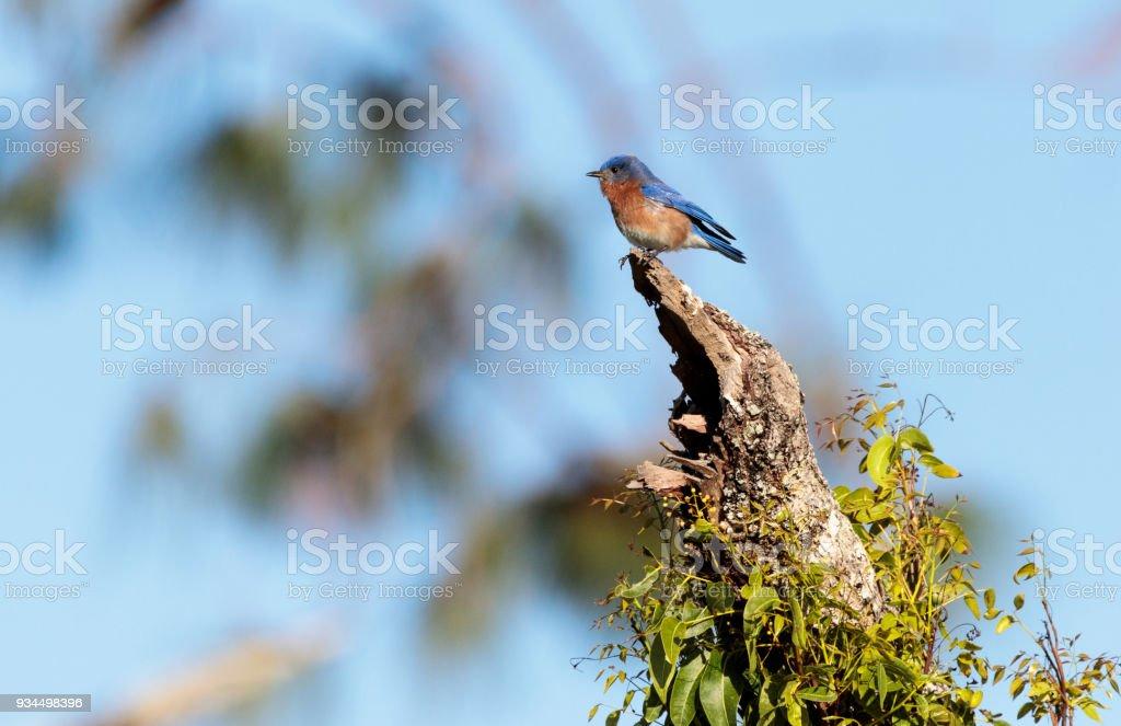 Eastern Bluebird Sialia sialis perches in a tree stock photo