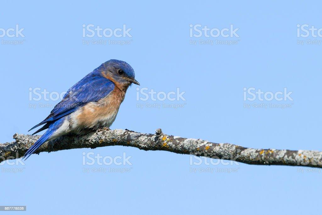 Eastern Bluebird - Sialia sialis stock photo