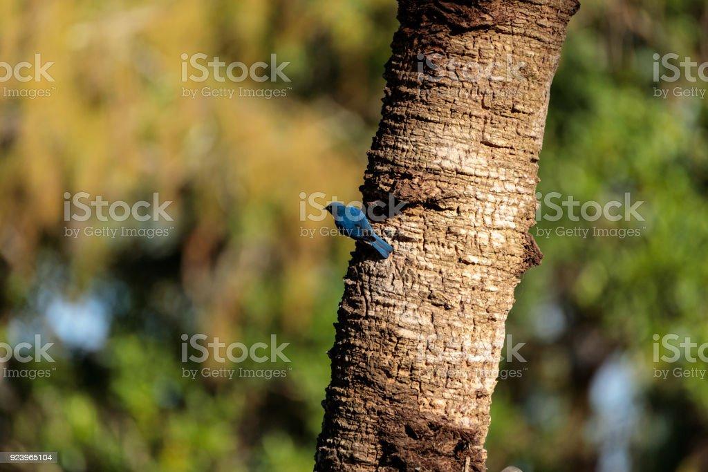 Eastern bluebird Sialia sialis stock photo