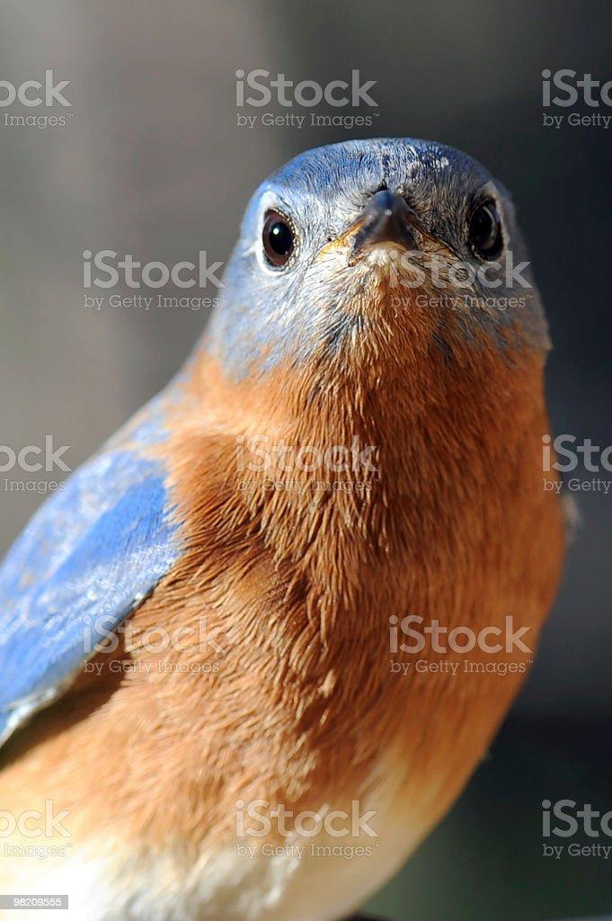 Uccello azzurro orientale, Sialia Sialis foto stock royalty-free