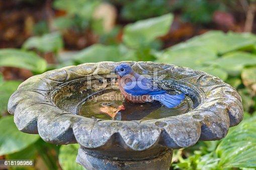 A beautiful blue and orange Eastern Bluebird (Sialia sialis) sitting in a birdbath and getting ready to bath.