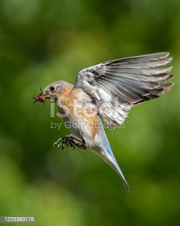 An eastern bluebird flying with a cricket in its mouth.