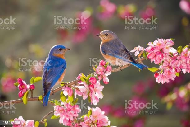 Eastern bluebirds male and female picture id183412466?b=1&k=6&m=183412466&s=612x612&h=zi4c0 4batdqj hhebaeztk5f uzk4ci3a  9bzcez8=