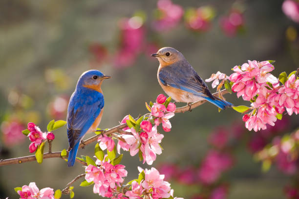 eastern bluebirds, male and female - bird stock photos and pictures