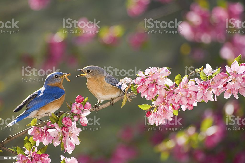Eastern Bluebirds, male feeding the female stock photo