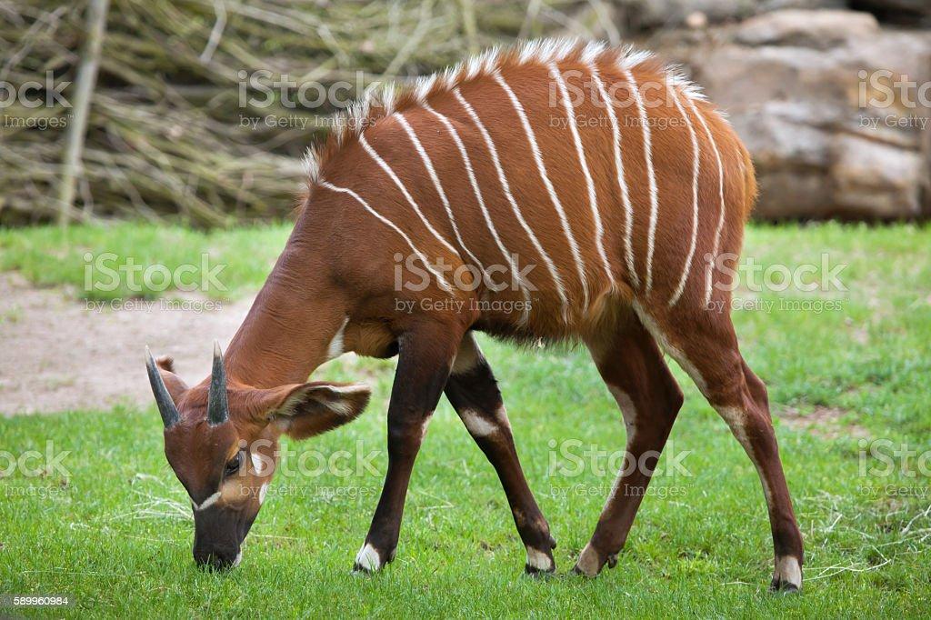 Eastern bongo (Tragelaphus eurycerus isaaci) stock photo