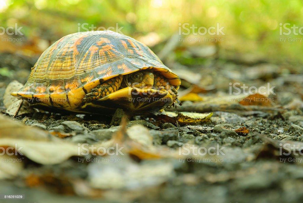 Eastern Box Turtle (Terrapene Carolina Carolina) Hiding in its Shell. stock photo
