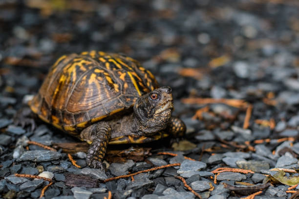 Eastern Box Turtle in the garden on a rainy day stock photo