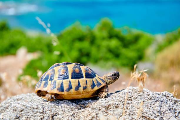 Östliche Kastenschildkröte auf Fels – Foto
