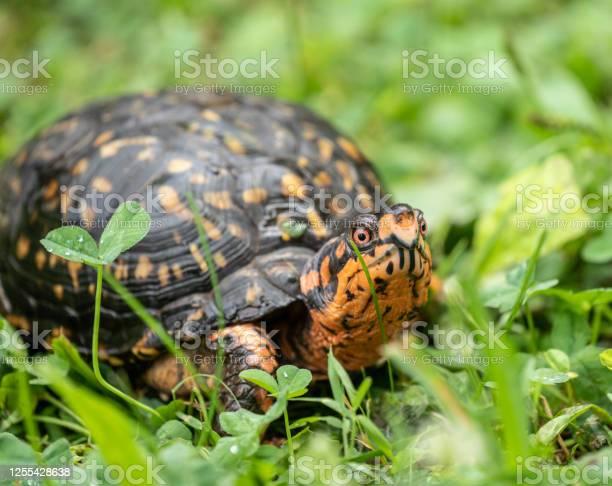 Eastern box turtle picture id1255428638?b=1&k=6&m=1255428638&s=612x612&h=nf lrtf0ecrccaqtddeonaehvjwavjyqeaxrvalhan4=