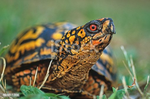 Eastern Box Turtle, cautiously looking ahead
