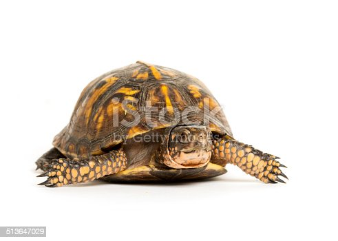 Eastern box turtle on white background