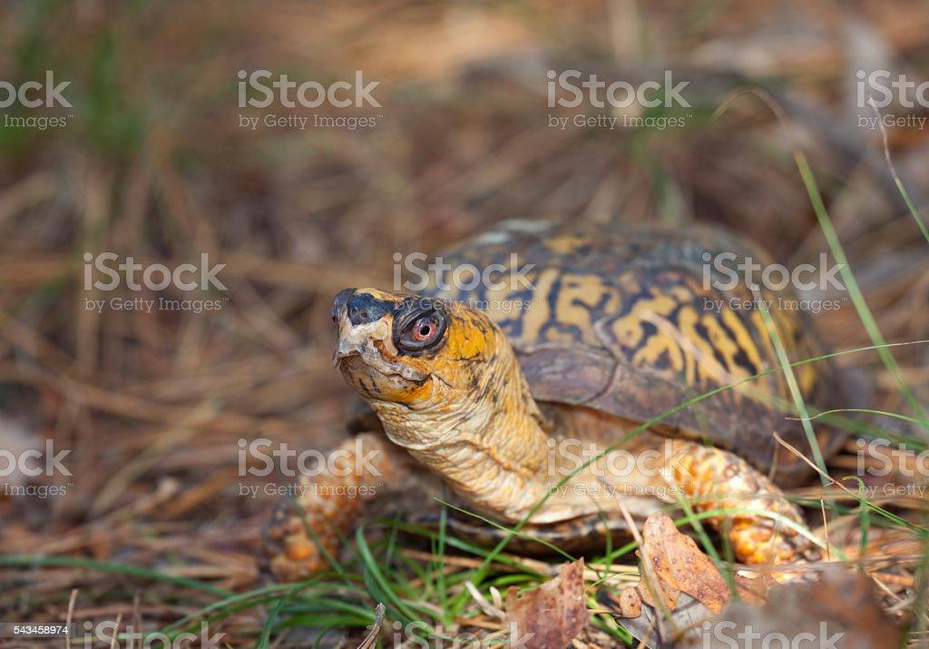 Eastern Box Turtle stock photo