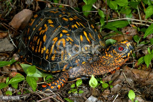 Male Eastern Box Turtle photographed in Kentucky.