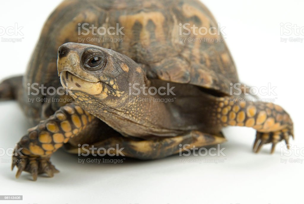 eastern box turtle royalty-free stock photo