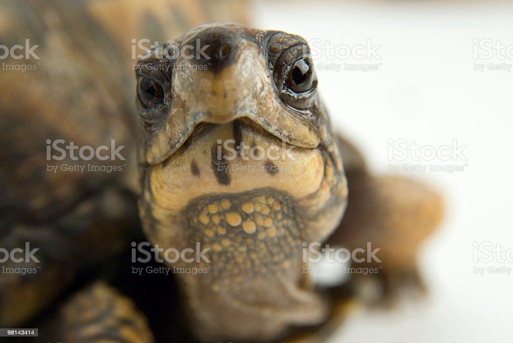 캐롤라이나거북 royalty-free 스톡 사진